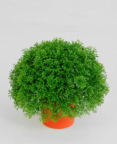 5809 Honey Moss Potted 20cm